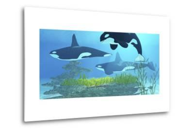 Three Killer Whales Pass over a Reef on a Journey to Find their Next Prey-Stocktrek Images-Metal Print