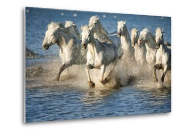 White Horses of Camargue, France, Running in Blue Mediterranean Water-Sheila Haddad-Metal Print