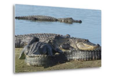 American Alligators Sunning, Myakka River, Myakka River Sp, Florida-Maresa Pryor-Metal Print