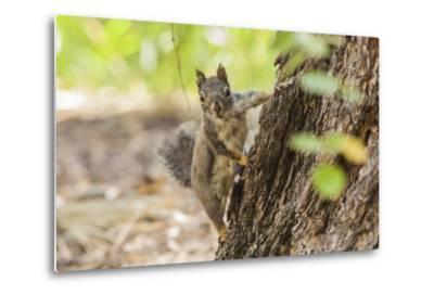 Eastern Sierra Nevada. an Inquisitive Douglas Squirrel or Chickaree-Michael Qualls-Metal Print