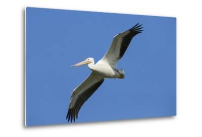 White Pelicans in Flight, Viera Wetlands, Florida-Maresa Pryor-Metal Print
