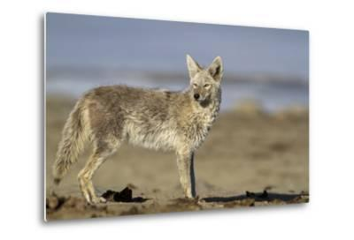 USA, Wyoming, Coyote Standing on Beach-Elizabeth Boehm-Metal Print