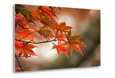 Red Japanese Maple Leaves in Fall-Sheila Haddad-Metal Print