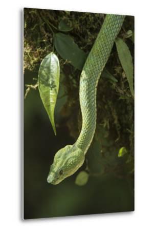 Captive Eyelash Viper, Bothriechis Schlegelii, Coastal Ecuador-Pete Oxford-Metal Print