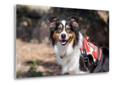 Australian Shepherd Search and Rescue Dog-Zandria Muench Beraldo-Metal Print