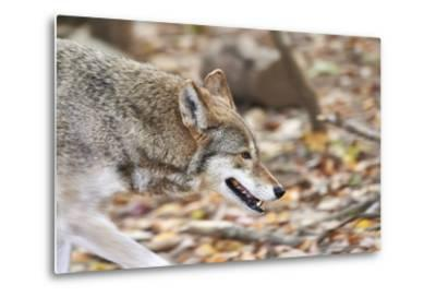Red Wolf-Gary Carter-Metal Print