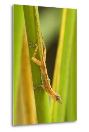 Central America, Costa Rica. Pacific Anole Lizard on Plant-Jaynes Gallery-Metal Print