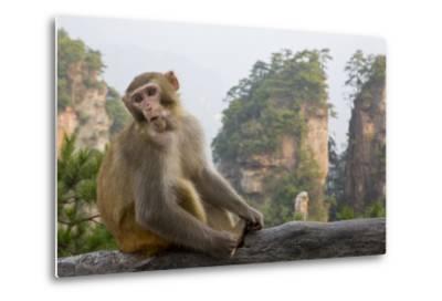 Rhesus Macaque, Hallelujah Mountains, Wulingyuan District, China-Darrell Gulin-Metal Print