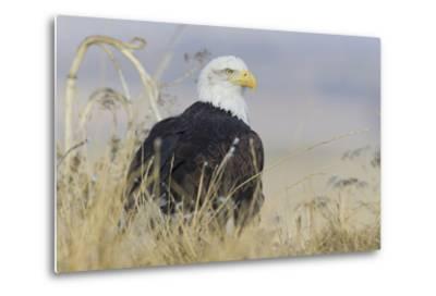 Bald Eagle on the Ground-Ken Archer-Metal Print