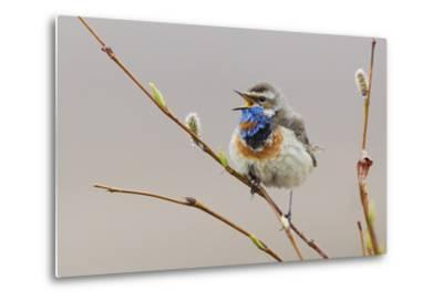 Bluethroat Singing-Ken Archer-Metal Print
