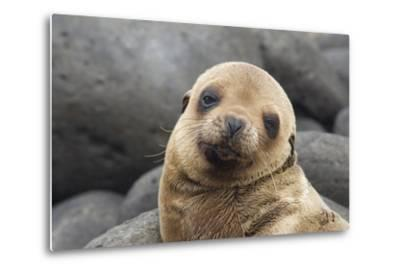 South America, Ecuador, Galapagos Islands. Portrait of Sea Lion Pup-Jaynes Gallery-Metal Print