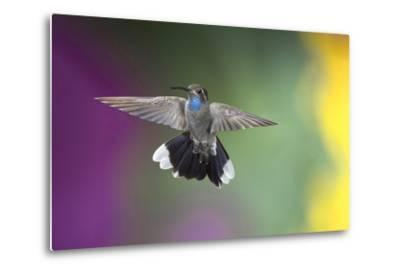 Arizona, Madera Canyon. Blue Throated Hummingbird with Spread Wings-Jaynes Gallery-Metal Print