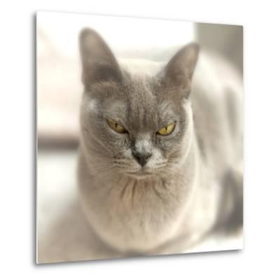 Close Up of a Blue American Burmese Cat-Rona Schwarz-Metal Print