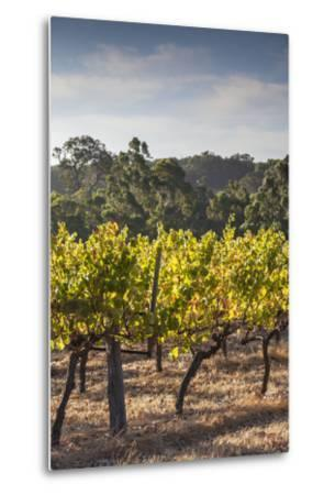 Southwest Australia, Margaret River Wine Region, Vineyard-Walter Bibikow-Metal Print