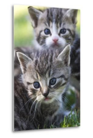 Kittens Sitting in the Grass--Metal Print