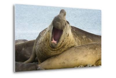 Southern Elephant Seal Bull Calling-Joe McDonald-Metal Print