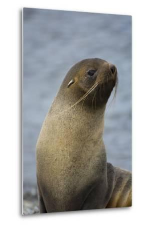 South Georgia. Antarctic Fur Seal, Arctocephalus Gazella-Inger Hogstrom-Metal Print