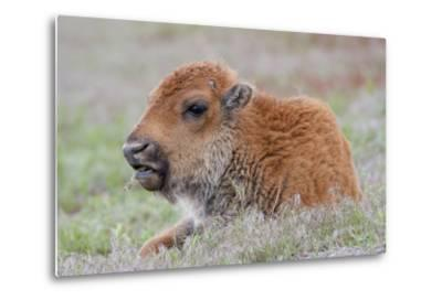 USA, Wyoming, Yellowstone National Park, Bison Calf Resting and Chewing Grasses-Elizabeth Boehm-Metal Print