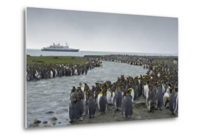 South Georgia. Saint Andrews. Crowd of King Penguins Line a Stream-Inger Hogstrom-Metal Print