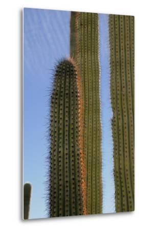 Arizona, Organ Pipe Cactus Nm. Organ Pipe Cactus Back Lit Close Up-Kevin Oke-Metal Print