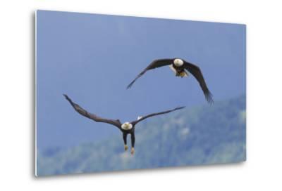 Bald Eagle Pair, Courtship-Ken Archer-Metal Print