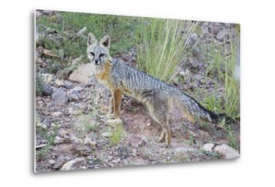 Jeff Davis County, Texas. Gray Fox Standing in Grass-Larry Ditto-Metal Print
