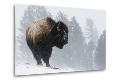Bison Bull, Winter Storm-Ken Archer-Metal Print