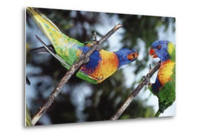 Australia, Eastern States of Australia, Close Up of Rainbow Lorikeets-Peter Skinner-Metal Print