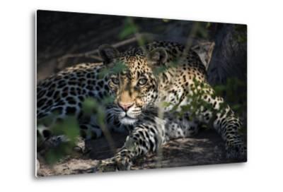 Leopard Face Peeking Out of Bush Close Up-Sheila Haddad-Metal Print