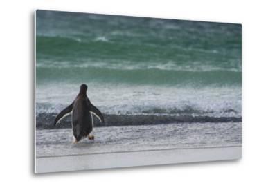 Falkland Islands. Saunders Island. Gentoo Penguins Diving-Inger Hogstrom-Metal Print