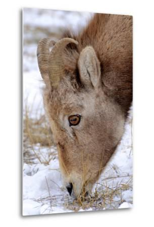 Rocky Mountain Bighorn Sheep Ram in Jasper National Park, Alberta, Canada-Richard Wright-Metal Print