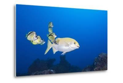 Barberfish (Johnrandallia Nigrirostris) Cleaning Yellow Sea Chub (Kyphosus Lutescens)-Reinhard Dirscherl-Metal Print