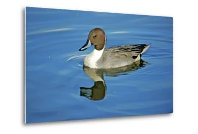 A Pintail Duck, Wide Geographic Distribution in Northern Latitudes-Richard Wright-Metal Print