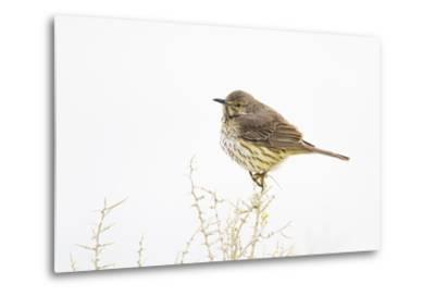 Wyoming, Lincoln County, Sage Thrasher Roosting on Bush-Elizabeth Boehm-Metal Print