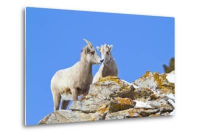 Wyoming, National Elk Refuge, Bighorn Sheep and Lamb Nuzzling-Elizabeth Boehm-Metal Print