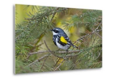 Minnesota, Mendota Heights, Yellow Rumped Warbler Perched on Branch-Bernard Friel-Metal Print