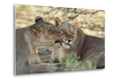 South Africa, Kalahari Gemsbok National Park, Kgalagadi Park, Pride of Lions-Paul Souders-Metal Print