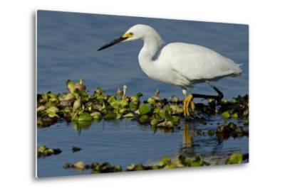 Florida, Immokalee, Snowy Egret Hunting-Bernard Friel-Metal Print