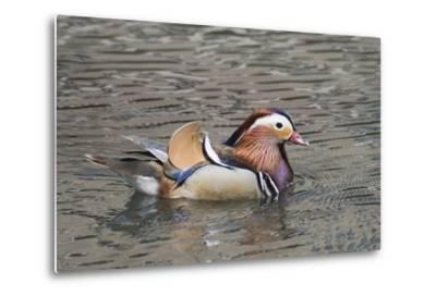 Mandarin Duck Drake-Hal Beral-Metal Print