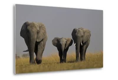 Elephant Herd Walking in Northern Botswana-Beverly Joubert-Metal Print