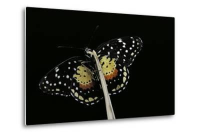 Chlosyne Janais (Janais Patch Butterfly, Crimson Patch)-Paul Starosta-Metal Print