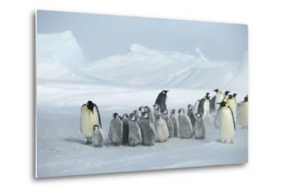 Emperor Penguins on Ice-DLILLC-Metal Print