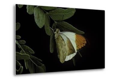 Hebomoia Glaucippe (Great Orange Tip)-Paul Starosta-Metal Print