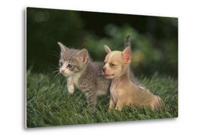 Chihuahua Puppy and a Kitten-DLILLC-Metal Print