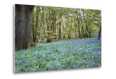Bright Fresh Colorful Spring Bluebell Wood-Veneratio-Metal Print