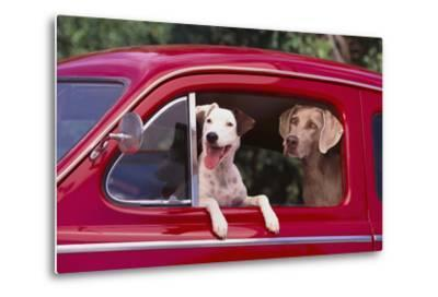 Jack Russel and Weimaraner Sitting in a Car-DLILLC-Metal Print