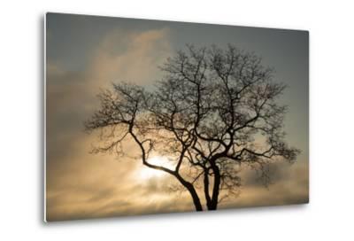 A White Oak Tree at Sunrise-Michael Melford-Metal Print
