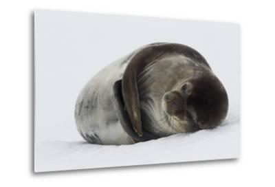 Weddell Seal-Joe McDonald-Metal Print