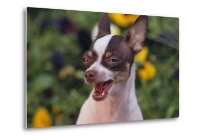 Chihuahua-DLILLC-Metal Print