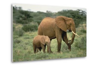 African Elephant with Calf-DLILLC-Metal Print